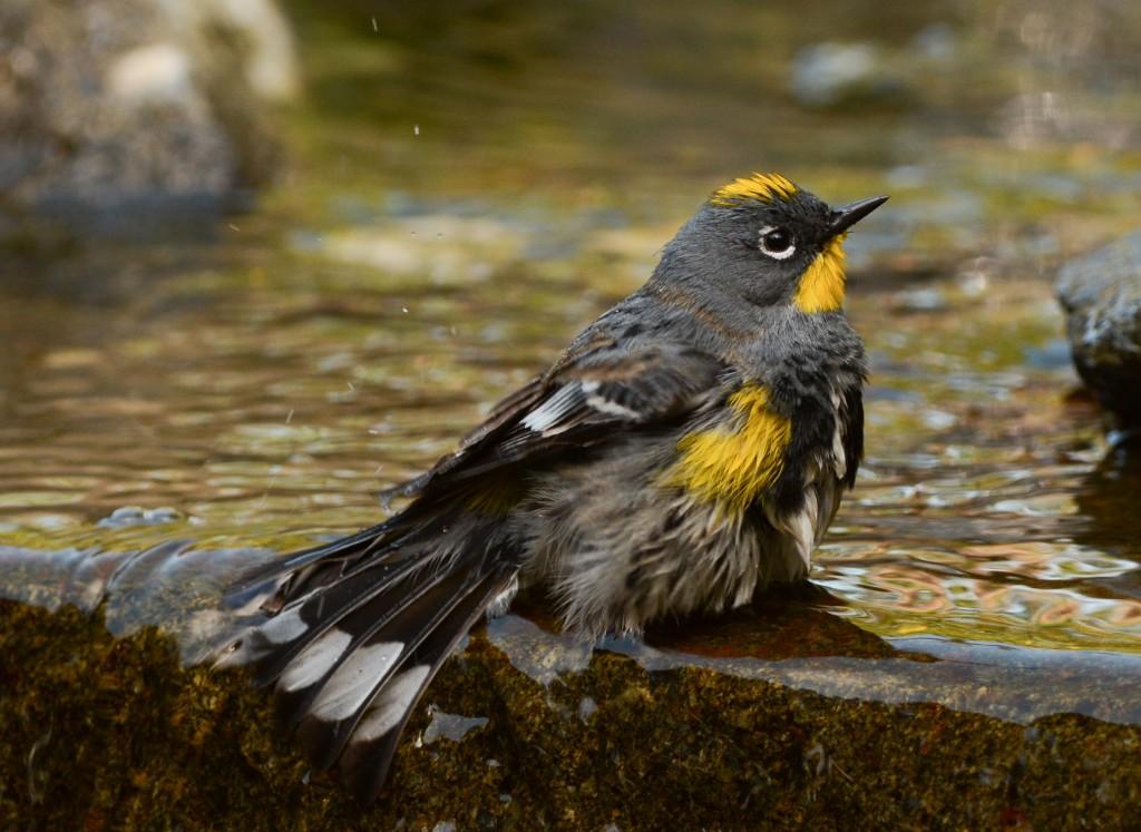 Yellow Rumped Warbler Audubon Skagit Audubon Society...
