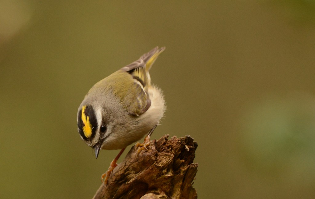 Kinglet Golden crowned JH4