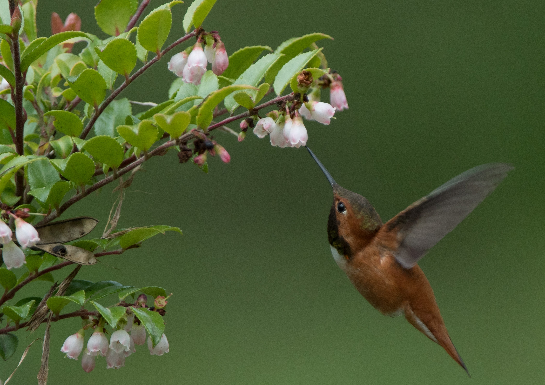 Rufous Hummingbird with Evergreen Huckleberry joe H