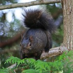 2016 09 19 61819 cesr E Gray Squirrel darkphase